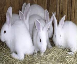 rabbit farming profit calculator
